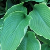 Picture of Hosta Abba Dabba Do