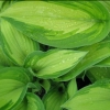 Picture of Hosta Albo Picta