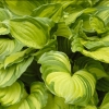 Picture of Hosta Aureomaculata