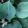 Picture of Hosta Blue Angel