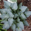 Picture of Hosta Blue Dimples
