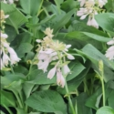 Picture of Hosta Blue Mammoth