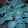 Picture of Hosta Blue Mouse Ear