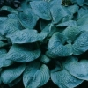 Picture of Hosta Blue Umbrellas