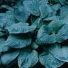 Picture of Hosta Blue Umbrellas
