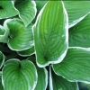 Picture of Hosta Francee