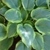 Picture of Hosta Frances Williams