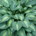 Picture of Hosta Full Monty