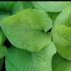 Picture of Hosta Glory