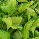 Picture of Hosta Great Expectations