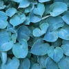 Picture of Hosta Hadspen Blue