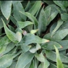 Picture of Hosta Hadspen Heron