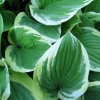 Picture of Hosta Mildred Seaver