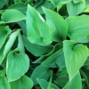 Picture of Hosta Mini Green