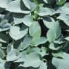 Picture of Hosta Silver Knight