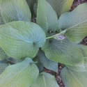 Picture of Hosta Wheaten Blue