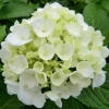 Picture of Hydrangea Agnes Pavelli