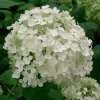 Picture of Hydrangea Annabelle
