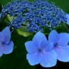 Picture of Hydrangea Blaumeise