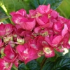 Picture of Hydrangea Bloody Marvellous