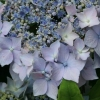 Picture of Hydrangea Blue Deckle