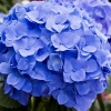 Picture of Hydrangea Blue Diamond