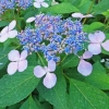 Picture of Hydrangea Blue Wave