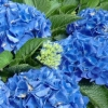 Picture of Hydrangea Bridget Blue