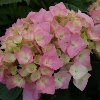 Picture of Hydrangea Brilliant