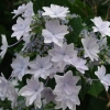 Picture of Hydrangea Fireworks