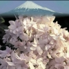 Picture of Hydrangea Fuji Waterfall