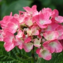 Picture of Hydrangea General Patton