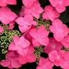 Picture of Hydrangea Geoffrey Chadbund