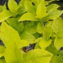 Picture of Hydrangea Goldie
