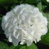 Picture of Hydrangea Grandad