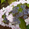 Picture of Hydrangea Grayswood