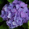 Picture of Hydrangea Holstein