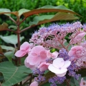Picture of Hydrangea Hot Chocolate