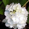 Picture of Hydrangea Le Cygne