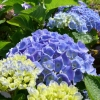 Picture of Hydrangea Bodensee