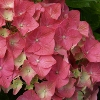 Picture of Hydrangea Madame Bardsee
