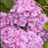 Picture of Hydrangea Mrs Kumiko