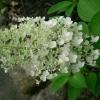 Picture of Hydrangea Paniculata Grandiflora