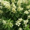 Picture of Hydrangea Paniculata Kyushu