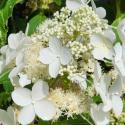 Picture of Hydrangea Paniculata Levana