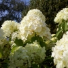 Picture of Hydrangea Paniculata Limelight