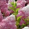 Picture of Hydrangea Paniculata Sundae Fraise