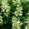 Picture of Hydrangea Paniculata Tardiva