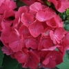 Picture of Hydrangea Paris