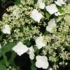 Picture of Hydrangea Petiolaris